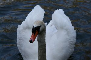 Swans in River Soar Leicester